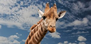 A giraffe in Zoo Miami - Miami attractions for kids.
