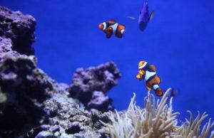 Clownfish around coral
