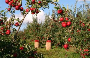 Moving to the country brings you apple orchard.