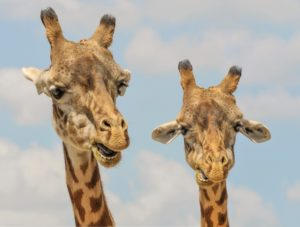 Giraffes - When moving to Miami with children, do not forget to visit the zoo